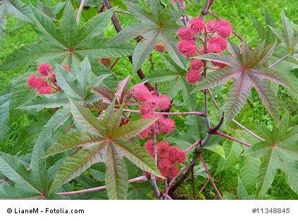 Wunderbaum. Der Wunderbaum (Rizinus) wird in Deutschlands Gärten bis zu 2 Meter hoch und blüht von Juli bis September.  Die Samen entwickeln sich in einer kugelförmigen, stacheligen Kapsel. In den Samen finden sich giftige Eiweiße, unter anderem das hoch giftige Ricin.