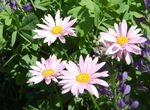 Chrysanthemum coccineum, pyrèthre rose