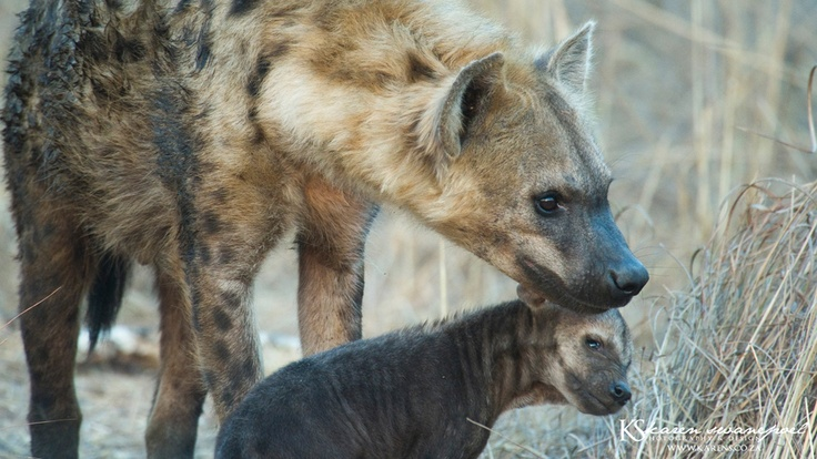 Africa at its best, affectionate.  www.Karens.co.za  #wildlife #africa #hyena #animals #photography #photos #Kruger #bush #wild #predator