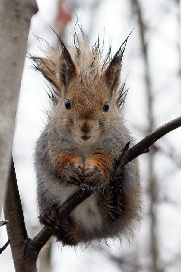 Even squirrels have bad hair days! LOL!Critter, Laugh, Squirrels, Bad Hair, Funny Stuff, Humor, Adorable, Things, Funny Animal