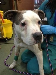 *Still listed!!!* SUPER SUPER URGENT 7/30/14 Manhattan Center   WILLOW - A1008536   FEMALE, WHITE / BLUE, AM PIT BULL TER, 2 yrs STRAY - STRAY WAIT, NO HOLD Reason STRAY  Intake condition INJ SEVERE Intake Date 07/29/2014, From NY 10451, DueOut Date 08/01/2014,  https://www.facebook.com/Urgentdeathrowdogs/photos/a.617942388218644.1073741870.152876678058553/846439408702273/?type=3&theater