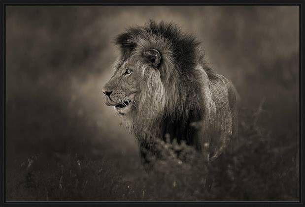 Horst Klemm, Black Maned Lion, 2012 / 2015 © www.lumas.com/ #Lumas - African Lion in Sepia