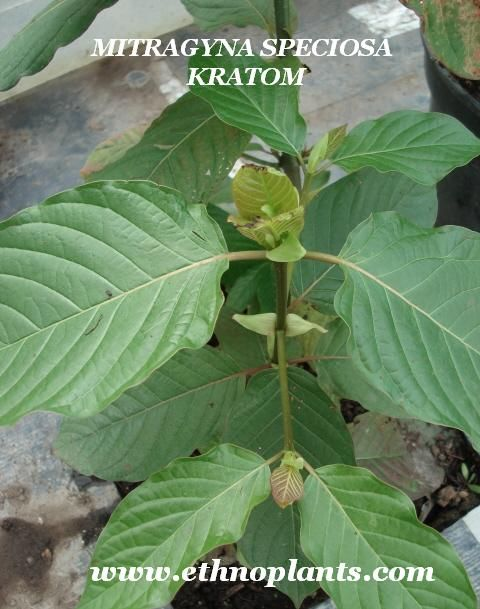 Mitragyna speciosa, kratom seeds pods: https://www.ethnoplants.com/gb/asian-plants-seeds/426-mitragyna-speciosa-kratom-seeds-pods.html