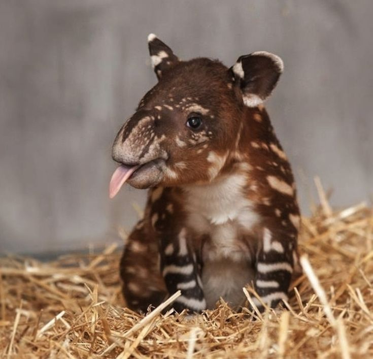 A little sepia watermelon baby tapir. | The 40 Most Adorable Baby Animal Photographs Of 2013