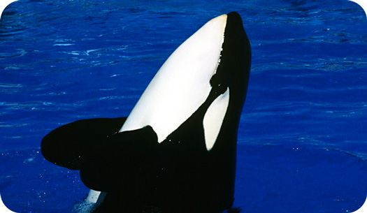 Learn how symbolic Orca whale meaning can help you with family life, community and even jumpstart your sense of humor!
