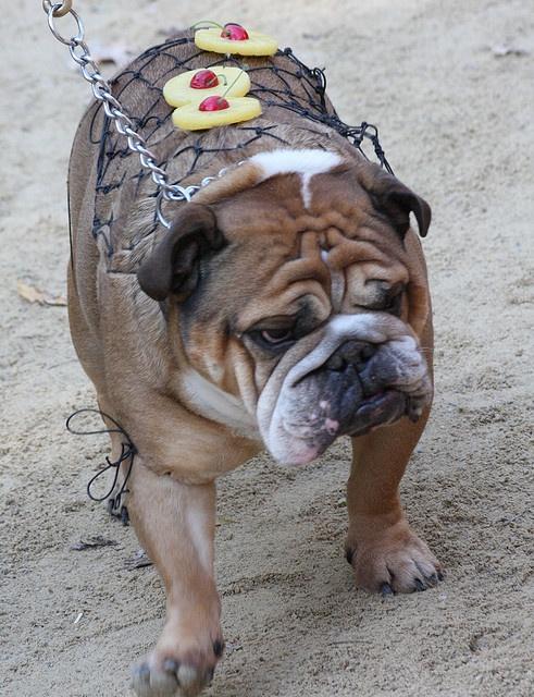 Honey Baked Ham dog costume!