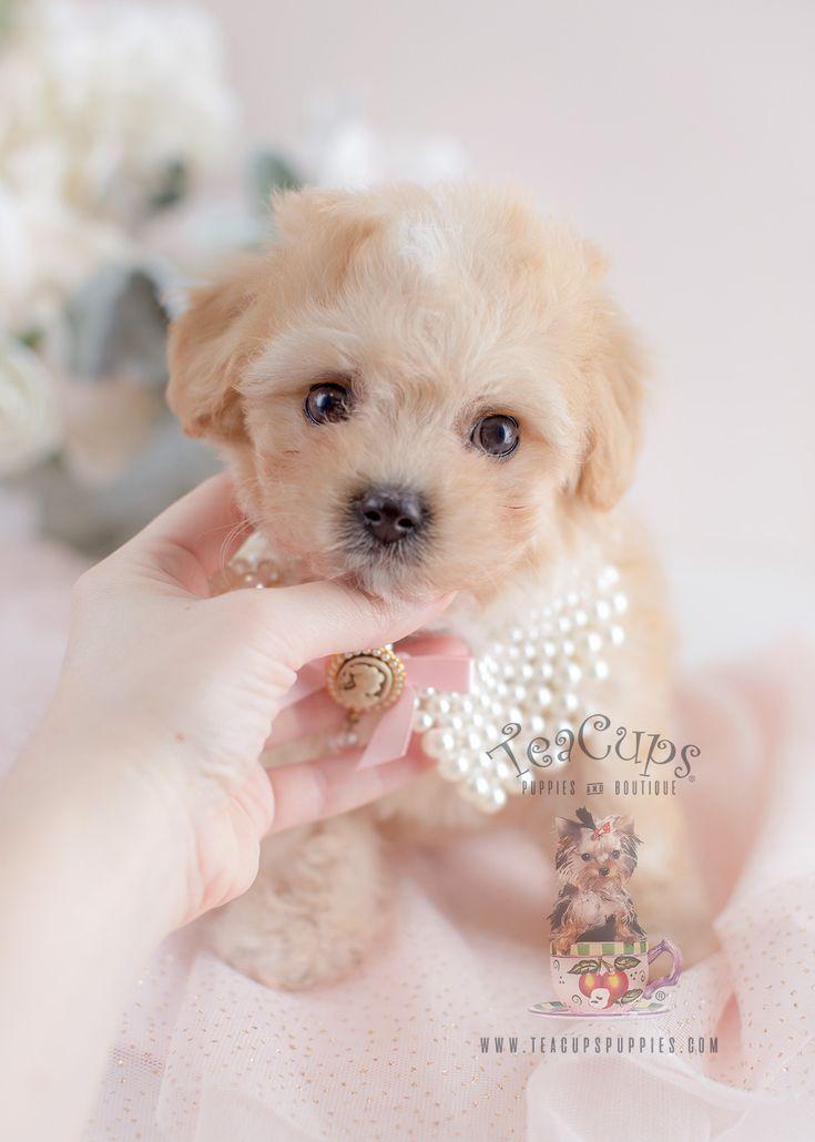 For sale 058 teacup puppies maltipoo puppy maltipoo