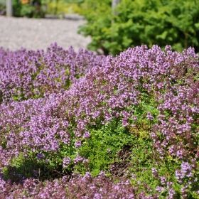 BACKTIMJAN i gruppen Krydd- och Medicinalväxter hos Impecta Fröhandel (3012)