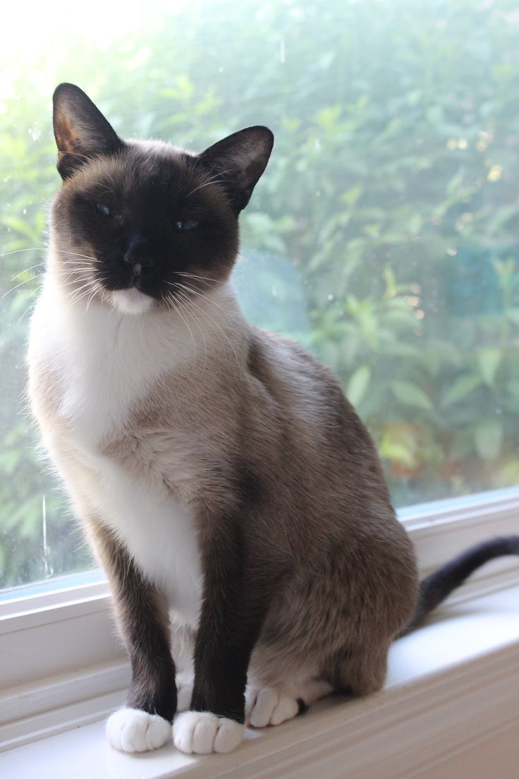 Snowshoe Cat Tumblr Snowshoe Cat Cats Cats And Kittens