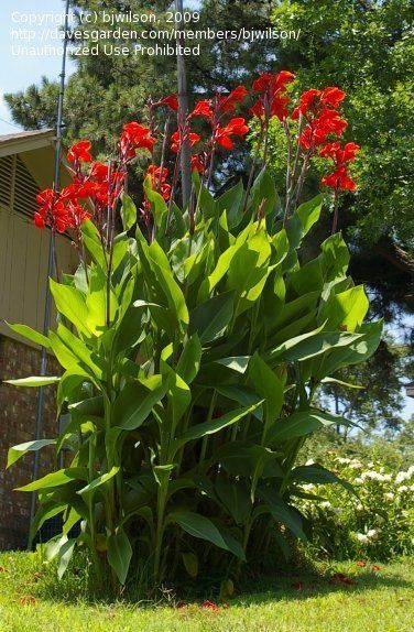 Full Size Picture Of Canna Lily Giant Red Canna X