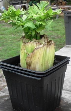 Growing food from kitchen scraps.