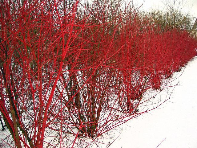 Red Twig Dogwood in winter.  What gorgeous color!  i need to check into this for the side of the house.