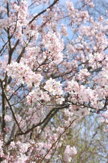 벚꽃 영국 햄튼코트에서
