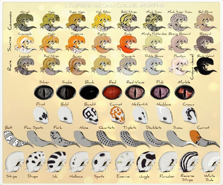 great reference! All the morphs and patterns for leopard geckos!
