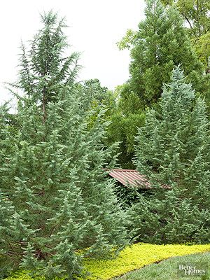 Although evergreens aren't going to win a race when it comes to fast growth, there are some species you can plant that grow faster than others. For example, some forms of arborvitae will stretch 3-5 feet a year. If you're looking for an evergreen to quickly screen a view or define a lot line, check out our top picks for fast-growing evergreens below.