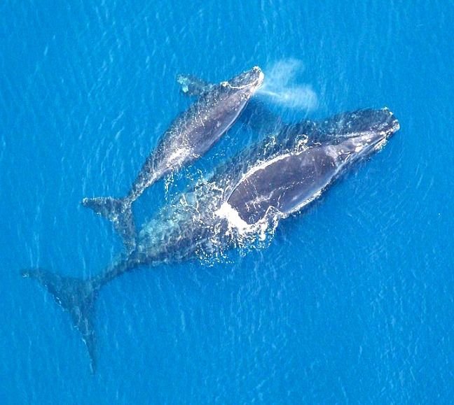ENDANGERED SPECIES SPOTLIGHT: Fascinating North Atlantic Right Whale Facts, including where you can see them, why they're endangered & what's being done to save them.