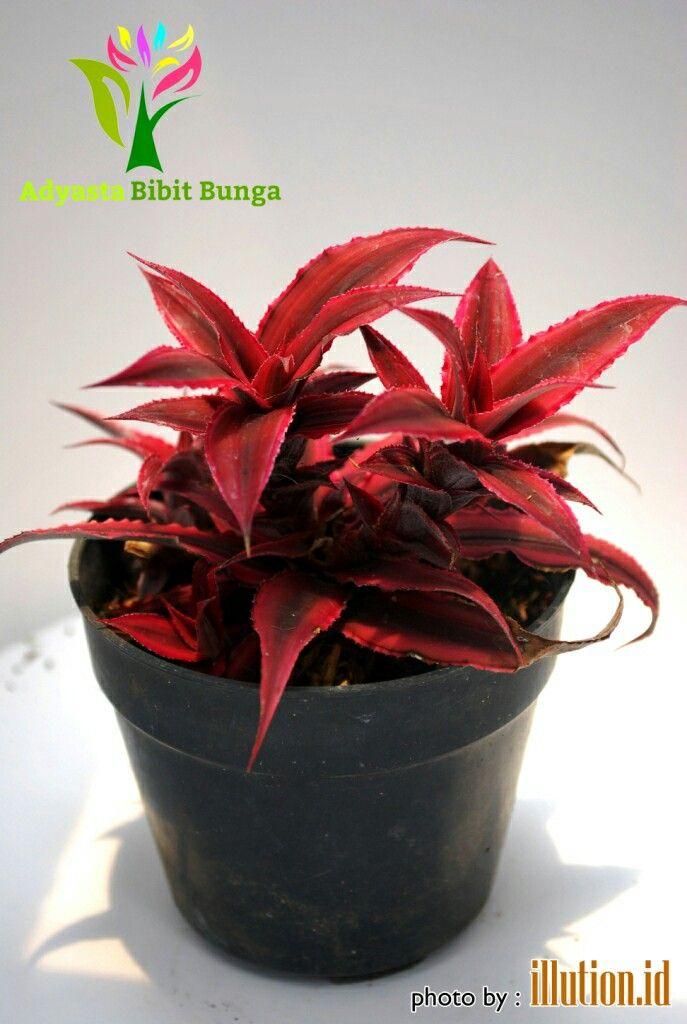 """Jual tanaman hias daun Cryptanthus """" Earth Star """" sp, diambil dari kebun di kota batu kirim ke seluruh Indonesia WA – 081217071006  Asal: Brazil, Warna: Merah, Tinggi: Kurang dari 20 cm, Berat : 0,3 Kg,  Harga:Rp 15.000"""