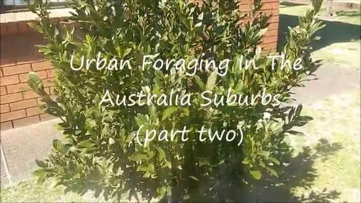 Urban Foraging In The Australia Suburbs (Part Two)