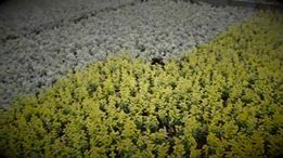 Fields of Euonymus from our Norval farm!