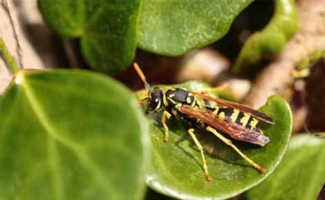How-to guide on preventing wasps from building nests near the home and yard.