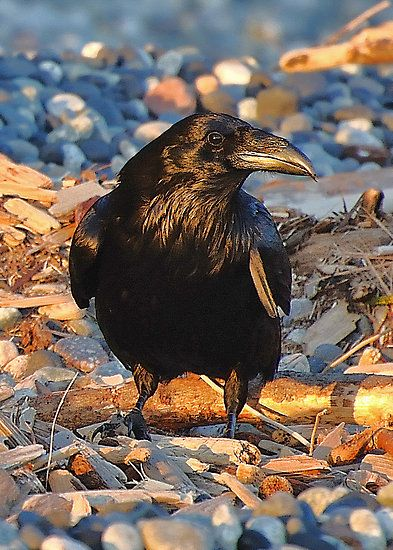 Once upon a midnight dreary... (Photo: a raven)