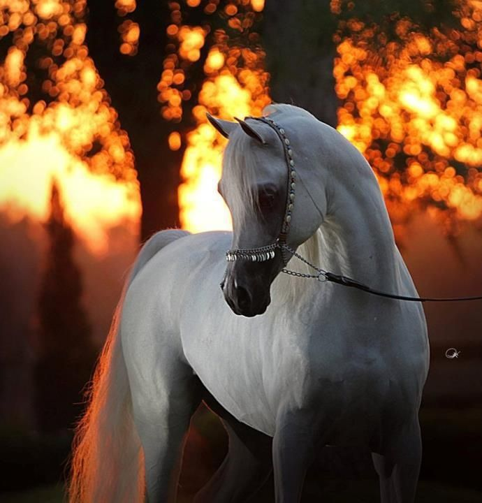 Gray Arabian Horses | Grey Arabian Horse | Horses! and other cute animals
