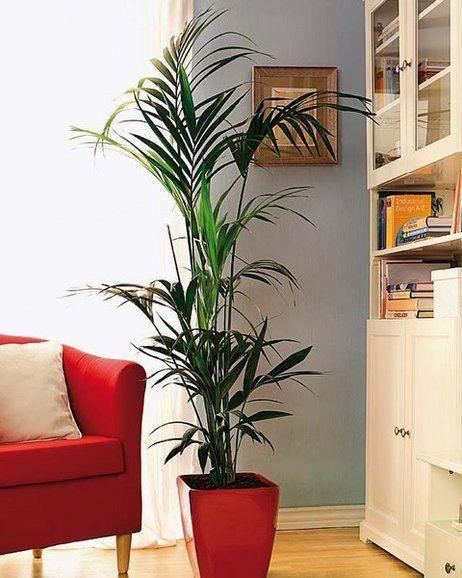 Plantas de interior: KENTIA (Howea forsteriana)