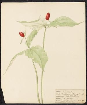 Trillium erythrocarpon, Herb Trinity, Aug. 22, 1897