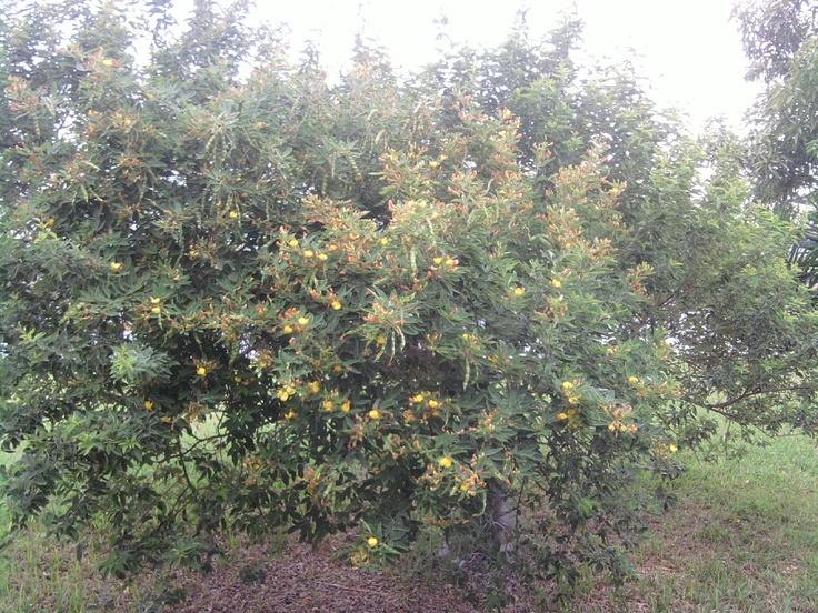 Árbol de gandules/Gandules tree.   My Puerto Rico ...