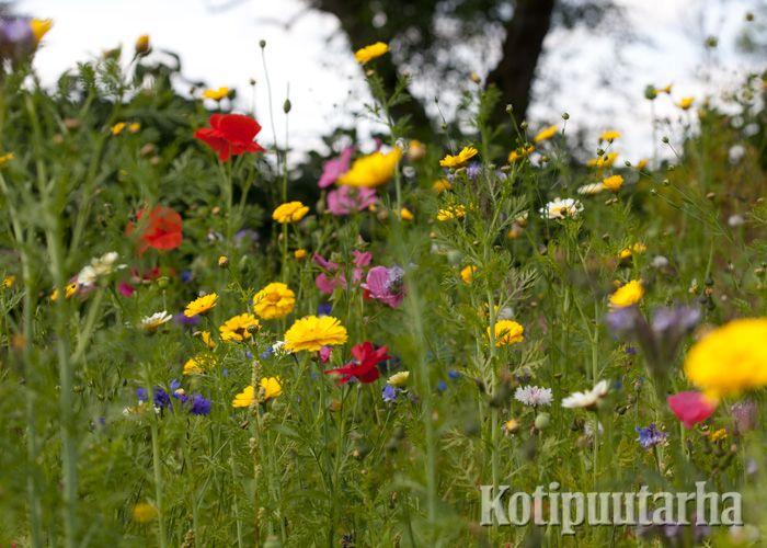 Niitty lisää puutarhan ekologisuutta. Kasvattamalla niityn olet mukana myös säilyttämässä suomalaista perinnebiotooppia. www.kotipuutarha.fi