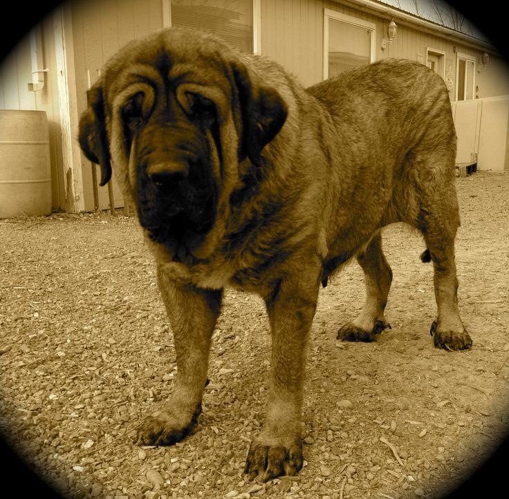 Tioda de Abelgas Spanish Mastiff