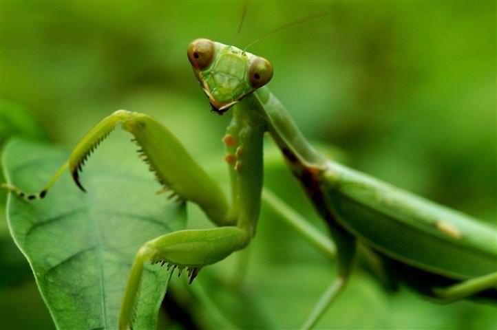 Vous êtes chanceux d'avoir une mante religieuse dans votre jardin. Ne vous laissez pas berner par son apparence intéressante et raffinée; mante religieuse est un prédateur. Un tueur rapide qui ne peut être comparé à aucun autre insecte. Il est capable d'éliminer vos ravageurs du jardin embêtants instantanément. Mante aiment manger les larves, les insectes, les pucerons, les sauterelles, les grillons, les mouches et autres insectes.
