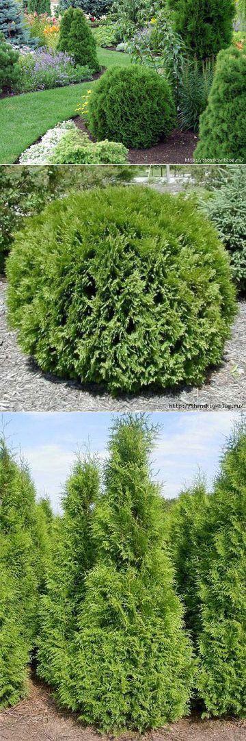 Как выращивать туи, чтобы их красотой смог гордиться Ваш сад?. | Для дома и дачи | Постила