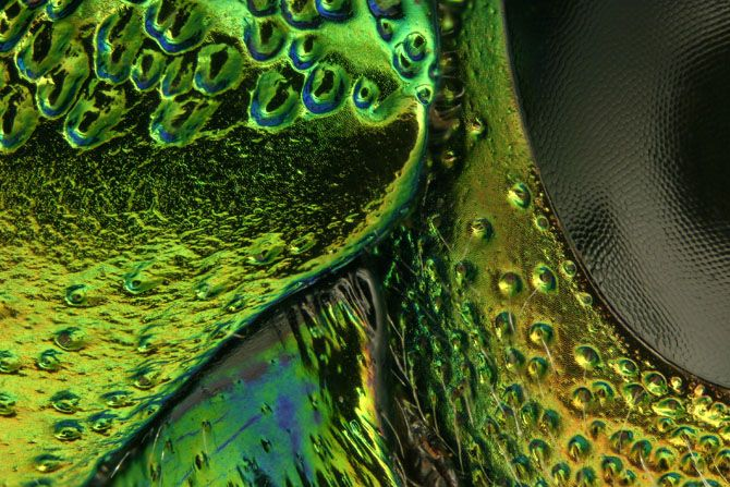 Metallic Beetle Eye. Thorax, head and eye section of Chrysochroa fulminans (6.25x)