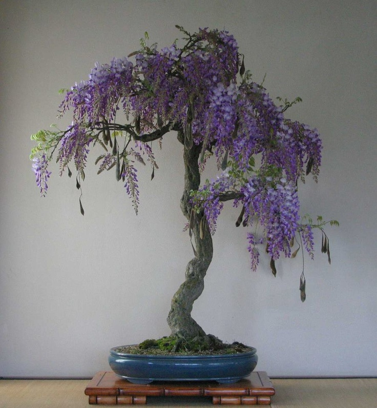 The 25 Best Wisteria Bonsai Ideas On Pinterest Purple