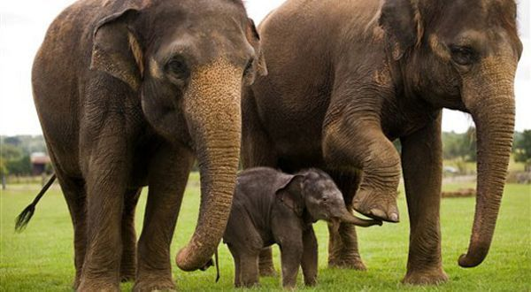 Asian Elephant Top 10 Animals Longest Gestation Period