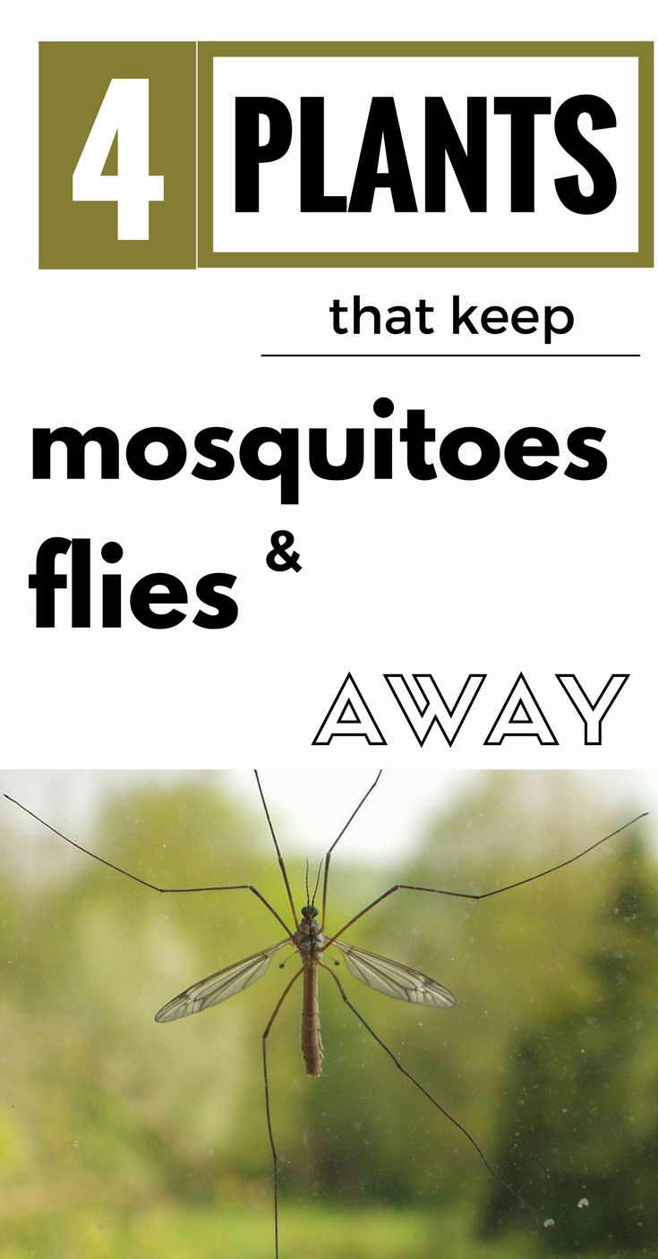 What Of Plant Keeps Mosquitoes Away 28 Images How To