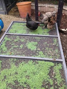 Method of growing greens to feed chickens- the wire keeps them from completely destroying the plants.