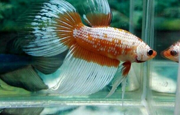 17 best images about betta fish on pinterest copper for Male veiltail betta fish