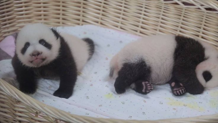 Greetings from the first pigeon pair of panda cubs in Shanghai! They turned one month old today and their health checks went well.   All they need now are lots of love and cute names. You may send your name proposals to pandazm@126.com.
