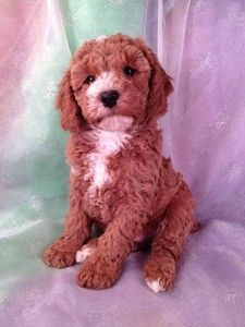 Cockapoo for sale,Puppy,Minneapolis, Minnesota,Iowa Breeder,Cockapoos for sale,Apricot,White,Red,Female.JPG (225×300)