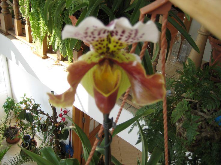 Paphiopedillum orchid