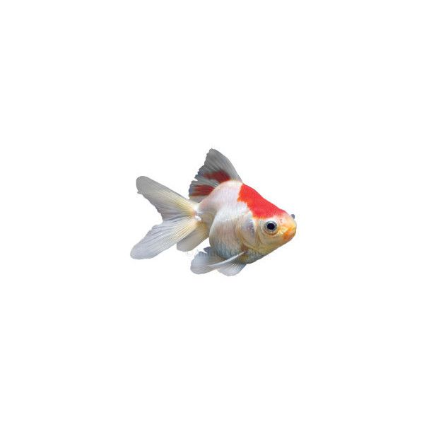 Red and White Ryukin Goldfish ($12) ❤ liked on Polyvore featuring filler