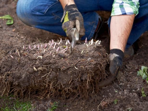 Learn about dividing peonies, including tips on when to tackle splitting peonies and how to propagate peonies from experts at DIY Network.