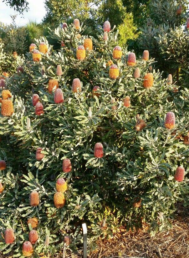 Banksia menziesi. Royal Botanic Gardens Cranbourne, May 2015.