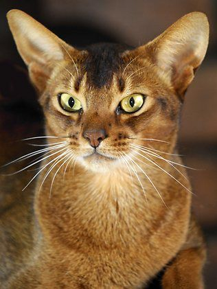 Ekka next stop for Fast Talker, the nation's top show cat from Warner