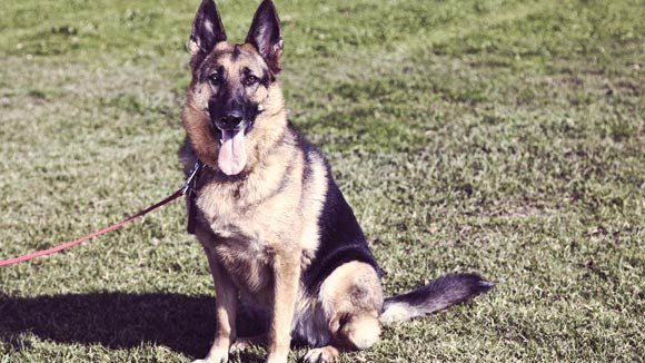 How to Train a German Shepherd to Be a Guard Dog | PetCareRx