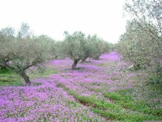 Olive fertilization  Olive trees require potassium, magnesium, nitrogen and boron.