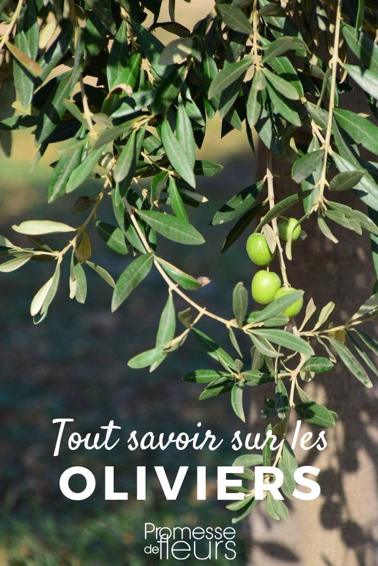 Olivier, Olea europaea : plantation, taille   Articles préférés ...