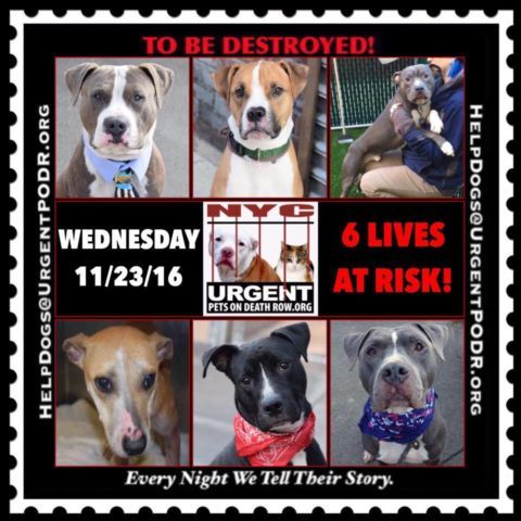 TO BE DESTROYED 11/23/16 - - Info  Please Share:   To rescue a Death Row Dog, Please read this:http://information.urgentpodr.org/adoption-info-and-list-of-rescues/   To view the full album, please click here: http://nycdogs.urgentpodr.org/tbd-dogs-page/ -  Click for info & Current Status: http://nycdogs.urgentpodr.org/to-be-destroyed-4915/